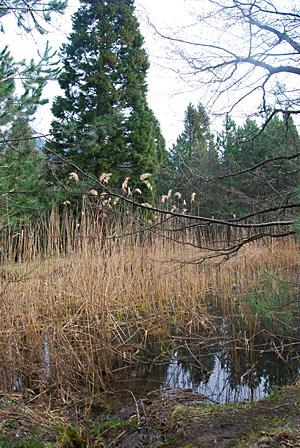 Озерцо у рощи секвой
